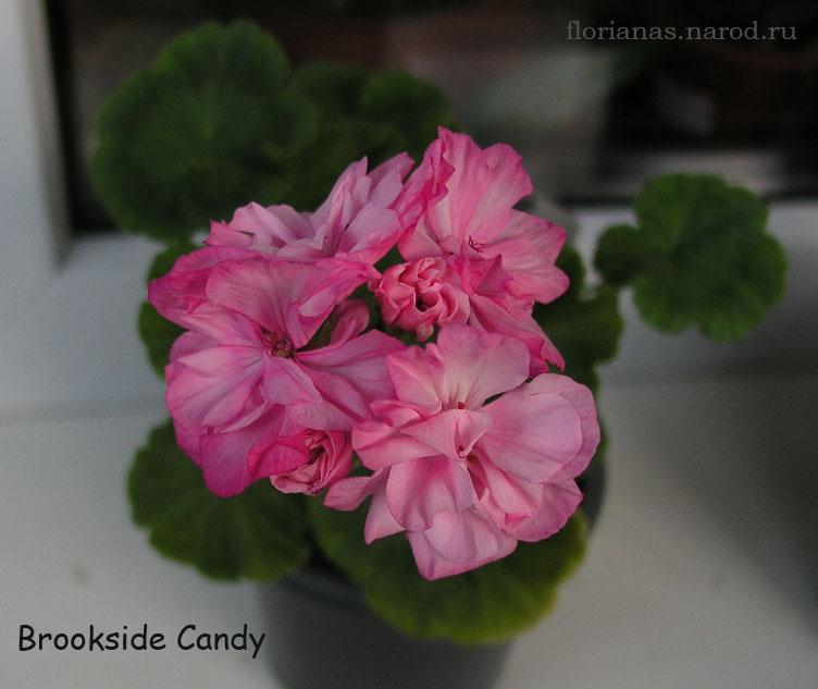 роза flamenco фото