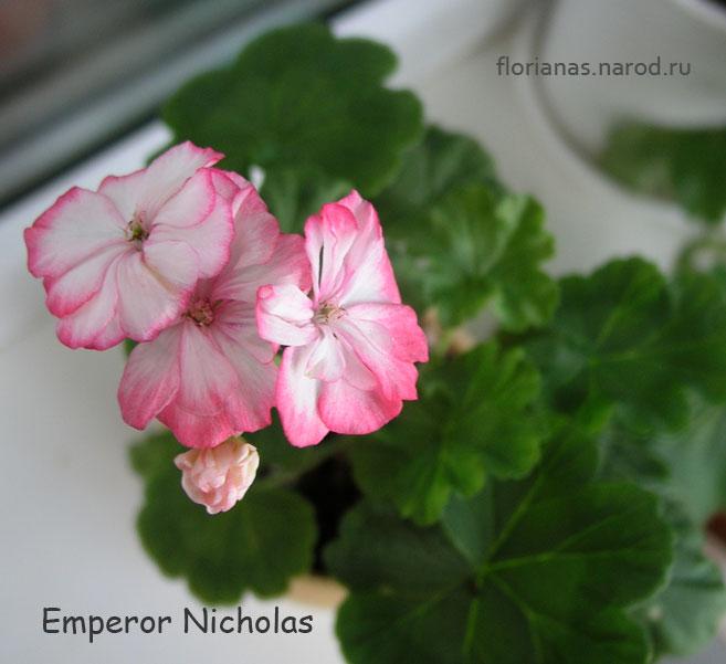 emperor nicholas пеларгония