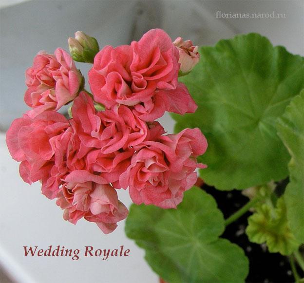 пеларгония фото wedding royale